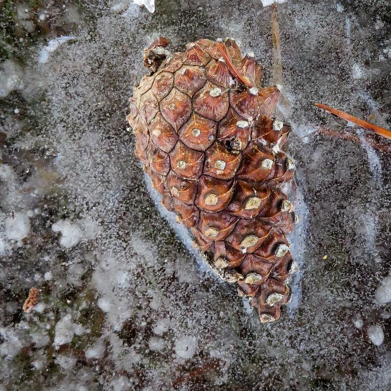 Frozen Pine Cone - Cône de pin congelé