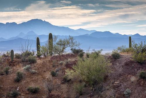 arizona carnegieagigantea pimacounty sonorandesert tucsonmountainpark usa unitedstates cactus desert landscape mountain outdoor paloverde plant ridge saguaro sonoran