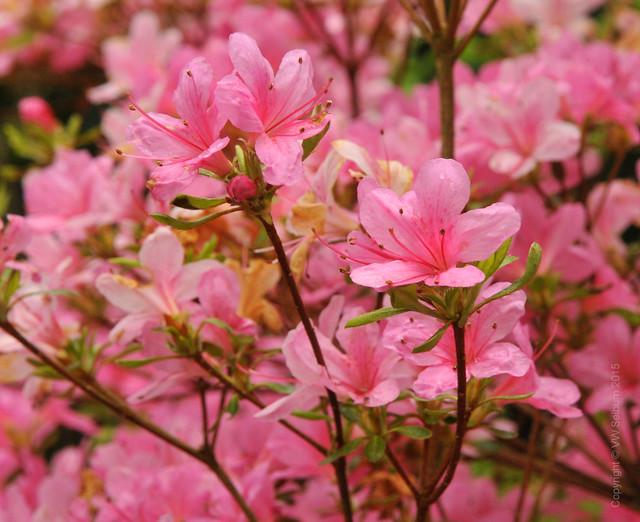 Pale pink azelea blossom