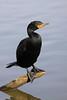 Double-crested cormorant, Phalacrocorax auritus by John's Love of Nature