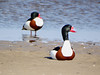 Common shelducks (Tadorna tadorna) by Jevgenijs Slihto