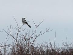 Northern Shrike, Sax-Zim Bog, MN 1/7/2018