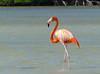 Flamenco, American Flamingo (Phoenicopterus ruber) by Francisco Piedrahita