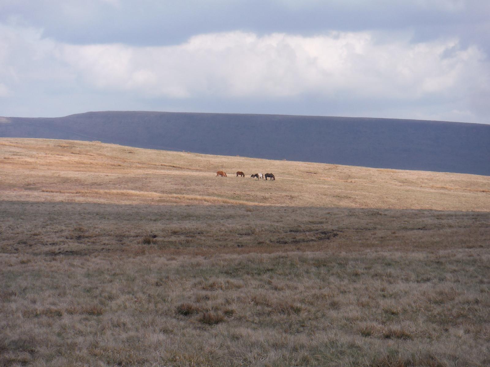 Hill Ponies on Fan Dringarth SWC Walk 307 - Fforest Fawr Traverse (Craig y Nos to Llwyn-y-celyn)