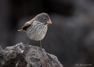 Small Ground-Finch (Female) | by Jon Cormorant