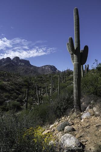 arizona carnegieagigantea catalinastatepark sonorandesert tucson cactus clouds desert desertspring flowers morning mountains saguaro wildflowers unitedstates