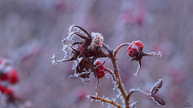Frost-Covered Rose Hip in Wintertime....