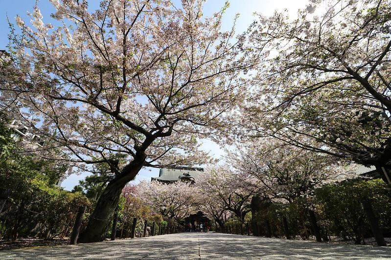 桜咲く建長寺