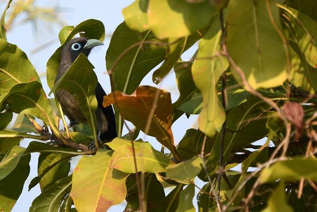 Blue-faced Malkoha Phaenicophaeus viridirostris Goa India a 1