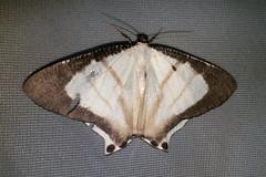 Uraniidae: Cyphura semiobsoleta