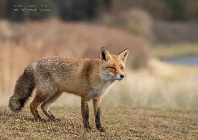 Wild Female Fox - (Vixen) - Vulpes vulpes