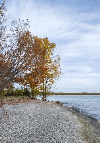 autumn princeedwardcounty ontario canada lakeontario lakeshore maple mapletree leaves fall