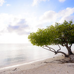 Divi tree on Surfside Beach