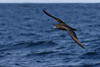 Flesh-footed Shearwater (Puffinus carneipes) by patrickkavanagh