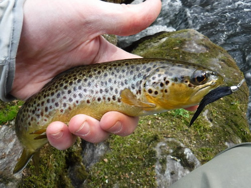Gunpowder Brown Trout | by Backwater Angler