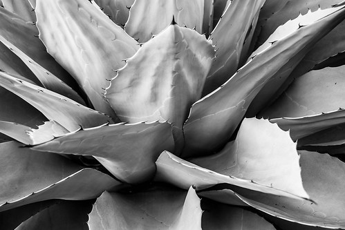 landscape nature photographersontumblr losanglescounty originalphotographers blackandwhitephotography naturephotography california photooftheday whalestongueagave northamerica landscapephotography photography agaveovatifolia outdoors outdoorphotography usa blackandwhite unitedstates agave arcadia us