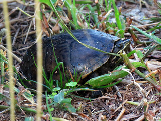 Common Musk Turtle (?) (Sternotherus odoratus) | by magnificentfrigatebird