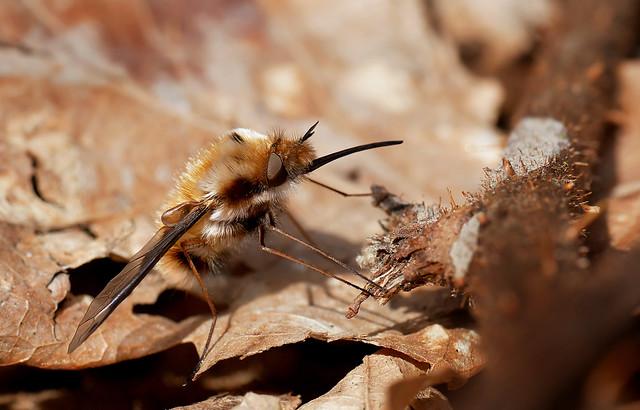 Large bee-fly (Bombylius major), Parc de Woluwé, Brussels