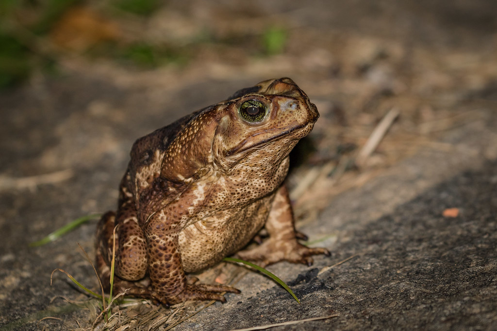 Sapo-cururu (Rhinella icterica) Yellow Cururu Toad - fêmea/female