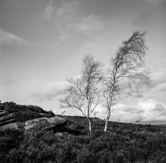 FILM - Silver birch