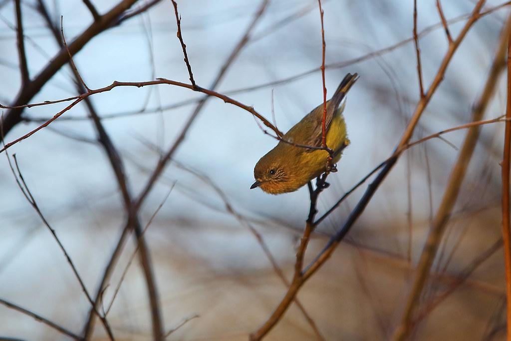 Yellow Thornbill Warriewood NSW 1408