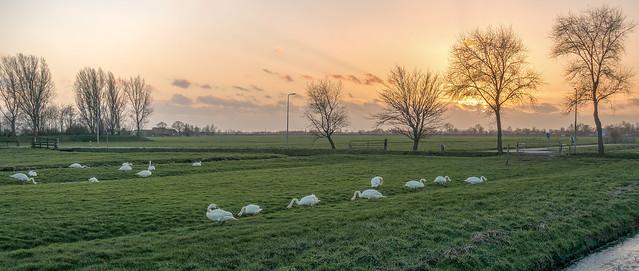 Swan country II