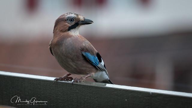 Eichelhäher / Jaybird