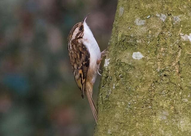 Treecreeper (  Certhia familiaris )