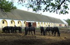 48-as major, Mezőhegyes, Nóniusz lovak