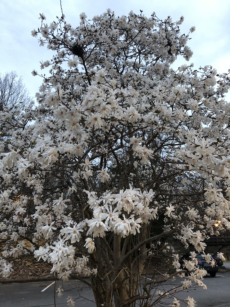 C2018 Feb 24 Royal Star Japanese White Magnolia Tree At J Flickr