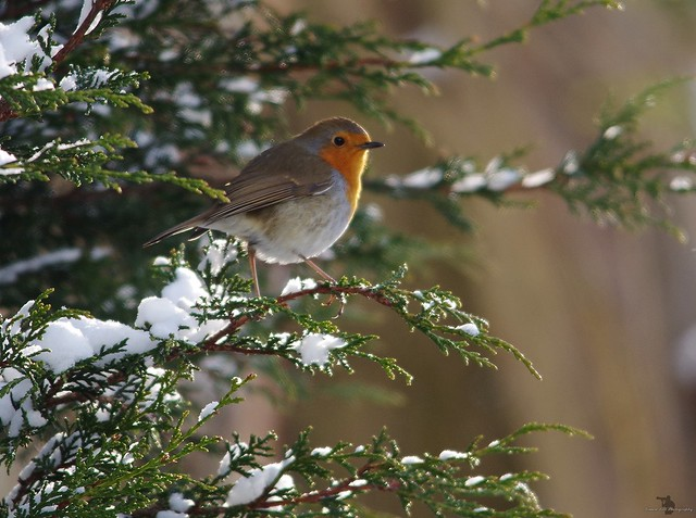 robin in the snow (1)