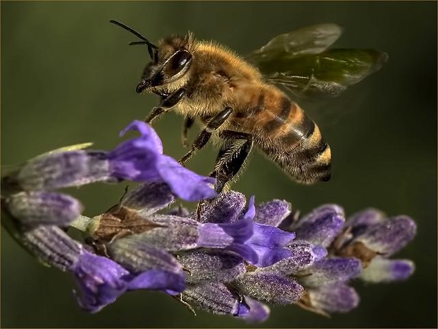 Honey bee taking off