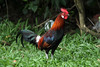 Gallus gallus ♂ (Red Jungle Fowl) - Singapore by Nick Dean1