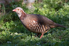 Adult Barbary Partridge by Josh13770