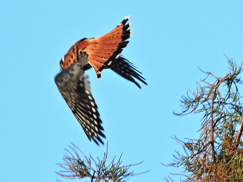 American Kestrel in flight 20180113