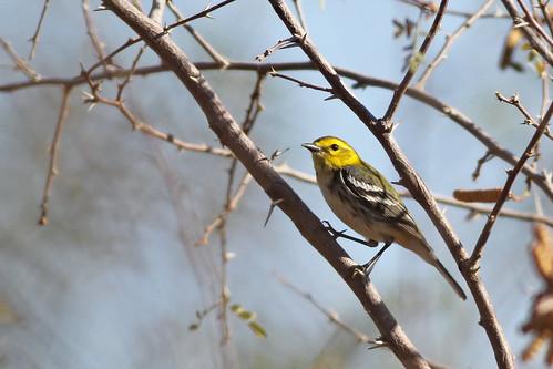 dendroicavirens birds aves pájaros passaros parulidae nature naturaleza