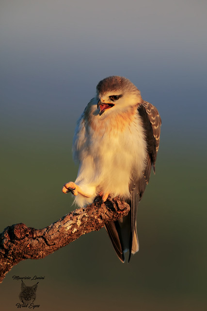 Giovane Nibbio bianco all'alba, Young black-winged kite at sunrise
