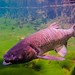 Grass Carp - Photo (c) Phil's 1stPix, some rights reserved (CC BY-NC-SA)
