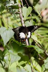 Papilio aegeus ormenus (Orchard Swallowtail) - female