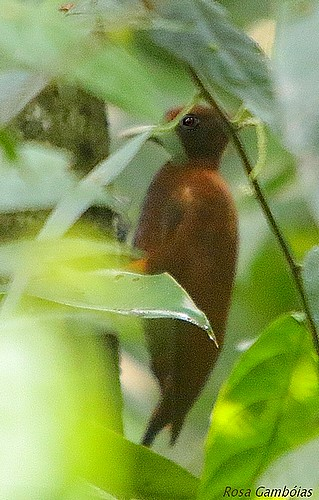 Carpintero Castaño   Chestnut Woodpecker (Celeus elegans)