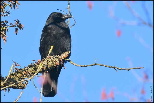 Corneille noire ( Corvus corone ) Focus Distance : 19.95 m