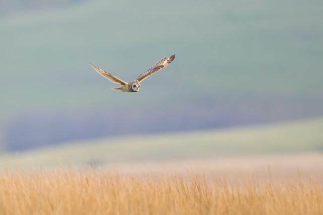Short Earred Owl Hunting over Exmoor