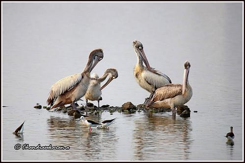 spotbilledpelican greypelican pelican birds nature india chennai sholinganallur marsh canoneos6dmarkii tamronsp150600mmg2 blackwingedstilt