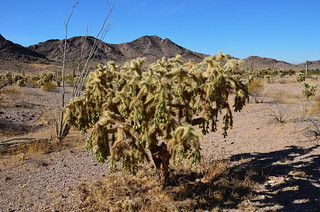 BGAFR - gate 15 cool Cholla tree with Ocatillo in the back | by Pierre Yeremian