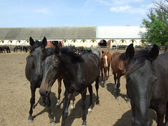 Mezőhegyesi lovak