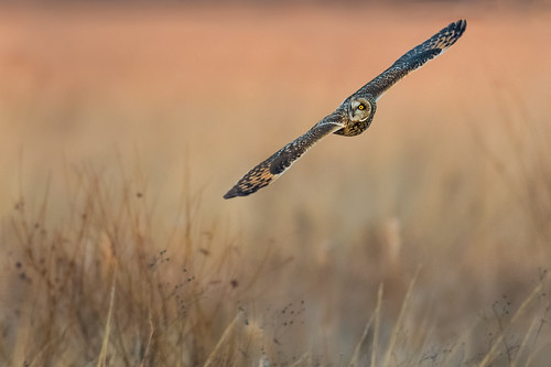 wildlife shortearedowl bird asioflammeus flight seo nature bif birdsofprey polefarm farm owl raptor birdsinflight mercermeadows pennington newjersey unitedstates us nikon d500