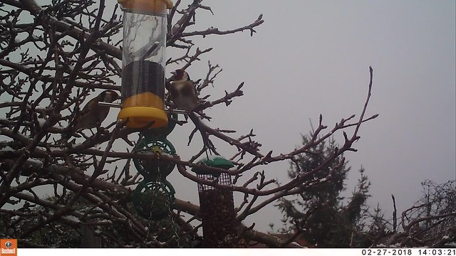 Goldfinches in snow