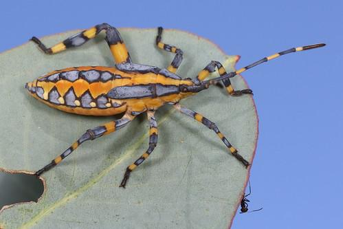 Eucalyptus Tip-wilter Bug (Amorbus alternatus) nymph
