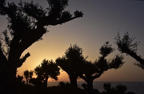 portugal algarve luz atlantik atlantischerozean atlanticocean morgendämmerung sonnenaufgang morgengrauen утро morgen morning dawn sunrise matin aube mattina alba ochtend dageraad zonsopgang рассвет восходсолнца amanecer morgens dämmerung asterids lamiids lamiales lippenblütlerartige oleaceae ölbaumgewächse baum bäume tree trees arbre дерево árbol arbres деревья árboles albero árvore ağaç boom ölbäume olea olivenbaum träd gegenlicht baumsilhouette himmel sky ciel cielo hemel небо gökyüzü