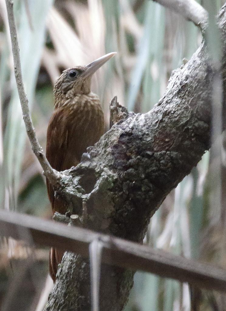 Buff-throated Woodcreeper_17-09-26_Xiphorhynchus guttatus